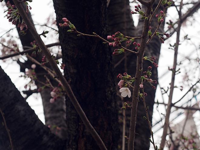 桜、1分咲き